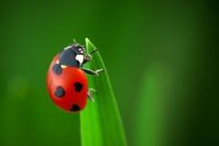 Ladybug With Hearts on Back Royalty Free Stock Images