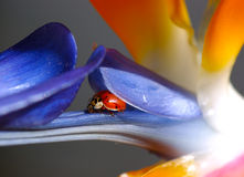 Ladybug Hiding. Ladybug Nestled Into Bird of Paradise Royalty Free Stock Photography