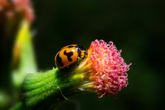 Ladybug holding on flower with close up detailed view. Royalty Free Stock Photography