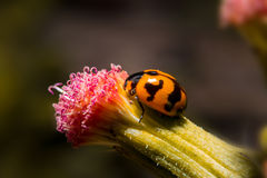 Ladybug holding on flower with close up detailed view. Stock Photo