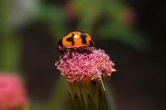 Ladybug holding on flower with close up detailed view. Stock Images