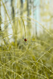 Ladybug holding on grass with natural light Royalty Free Stock Photos