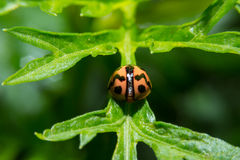 Ladybug holding on green leaf with close up detailed view. Royalty Free Stock Photography
