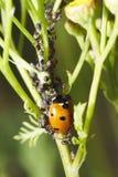Ladybug, hormigas y áfidos Fotos de archivo libres de regalías