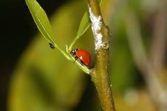 Ladybug hunting Royalty Free Stock Photography