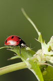 Ladybug hunting for aphids stock photography