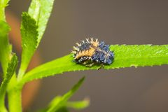 Ladybug larva insect closeup. Ladybug insect larva or pupacloseup. Pupal stage on green vegetation closeup stock images