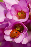 Ladybug inside pink flowers Stock Photo
