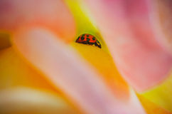 Ladybug inside a rose flower Stock Images