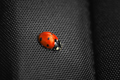 Ladybug isolated on black background. Stock Images