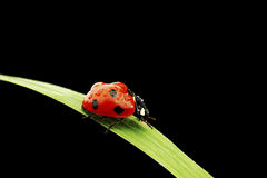 Ladybug isolated on black Stock Photography