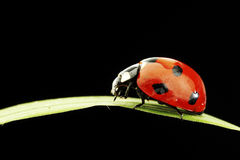Ladybug isolated on black Stock Photos