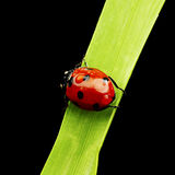 Ladybug isolated on black Royalty Free Stock Photography