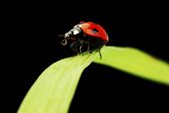 Ladybug isolated on black Royalty Free Stock Photos