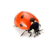 Ladybug Royalty Free Stock Photography