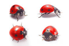Ladybug isolated Royalty Free Stock Photos