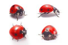 Ladybug isolato Fotografie Stock Libere da Diritti