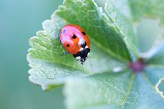 Ladybird in her environment with macro stock images