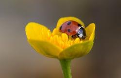 Ladybug On Kingcup Stock Image