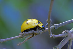 Ladybug or lady beetle Stock Image