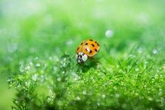 Ladybug. Lady bug climbing green grass Stock Images