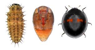 Ladybug ladybird, Chilocorus bipustulatus stock images