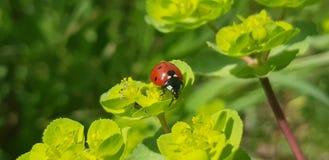 Ladybird clinging to some flowers. A Ladybug / Ladybird clinging to some grass Stock Images