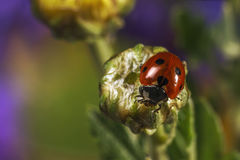 Ladybug or ladybird & x28;Coccinella septempunctata& x29;. The ladybird sits on a non-blooming flower& x29 Stock Images