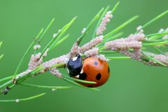 Ladybug, ladybird, eating moth eggs on aspargus. Seven-spot ladybirds Coccinella septempunctata, known also as  seven-spotted ladybugs, are used extensively as Royalty Free Stock Images