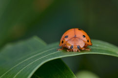Ladybug, Ladybird Royalty Free Stock Photos
