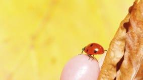Ladybug ladybird on hand nature spring Stock Image