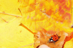 Ladybug ladybird on hand nature spring Royalty Free Stock Image