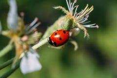 Ladybug or ladybird or lady-beetle on branch of flower, macro. Shot, selective focus Stock Photo