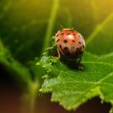 Ladybug or Ladybird or Lady beetle or Coccinellidae  sitting on Stock Photography