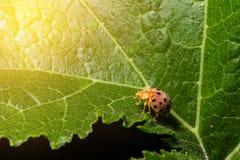 Ladybug or Ladybird or Lady beetle or Coccinellidae  sitting on Royalty Free Stock Photos