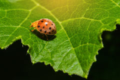 Ladybug or Ladybird or Lady beetle or Coccinellidae Royalty Free Stock Images