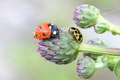 Ladybug, ladybird and ladybeetle. Red seven-spot ladybird Coccinella septempunctata and yellow thirteen-spot ladybeetle  Hippodamia tredecimpunctata on a bud of Royalty Free Stock Images