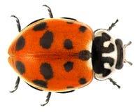 Ladybug ladybird. Hippodamia variegate Coleoptera: Coccinellidae variegate. Isolated on a white background stock images