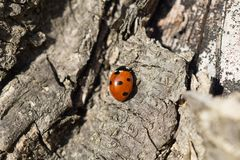 Ladybug. Ladybug goes up the tree bark stock image