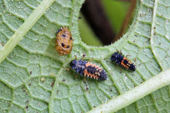 Ladybug Larva Royalty Free Stock Photography