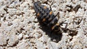 Ladybug larva macro video Stock Photos