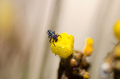 Ladybug larva on the yellow flower Royalty Free Stock Image