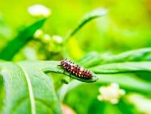 Ladybug larvae stock image