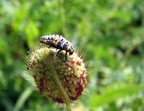 Ladybug larvae Royalty Free Stock Photo