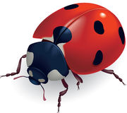 Ladybug. (Lat. Coccinellidae) Foto de archivo