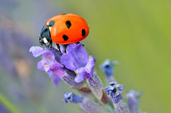 Ladybug on lavender flower. Macro of seven spot ladybug (Coccinella septempunctata) on lavender flower Stock Image