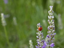 Ladybug on lavender. A ladybug on the lavender flower in lavender field Royalty Free Stock Images