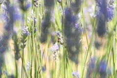 Ladybug on lavender flower Stock Photos