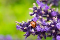 Ladybug On Lavender Stock Photo