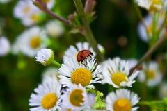 Ladybug on a daisy royalty free stock photography